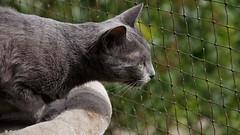 Masza (dreptacz) Tags: siatka rasa srebny kot polska wrocław polowanie oko wąsy sierść sony55 slt55 lustrzanka thisphotorocks