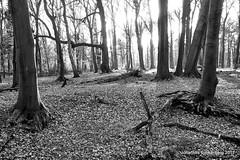 Lichtung (grafenhans) Tags: sony alpha 68 a68 tamron 281750 black white schwarz weiss wald licht light landschaft lichtung landscape grafenwald bäume baum bottrop