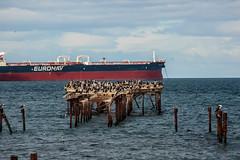 Costanera de Punta Arenas (Pablo Rodriguez M) Tags: chile puntaarenas costanera muelle pier ave bird