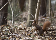 Small squirrel in a big forest (Krzysztof Kozłowski) Tags: squirrel forest nature