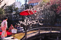 Tea ceremony under Ume blossoms (kazs2307) Tags: ume tea spring 梅 野点 春 湯島天神 梅まつり