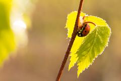 Hidden but found (Myanoli) Tags: ladybug marienkäfer hideout versteck macrodreams macro insect bug käfer birke birch canon 70d outdoor natur nature