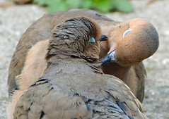 Doves in Love (ctberney) Tags: mourningdoves zenaidamacroura pair courting matingritual birds nature