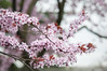 Plum Blossoms (ScarletBlack) Tags: plumblossoms blossoms pinkblossoms