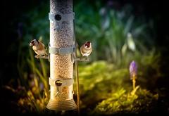 My Garden Goldfinch (Missy Jussy) Tags: goldfinch finch birds bird birdfeeder mygarden cottagegarden sunlight artificiallight flowers flower plants springtime spring canon canon5dmarkll canon70200mm light shadows vignette
