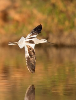 American Avocet IF Gilbert water ranch AZ