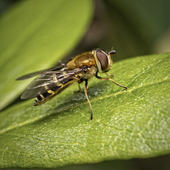 Hoverfly (Syrphus ribesii) - HFDF! (Stefan Zwi.) Tags: insect insekt animal tier beautiful 105mm f28 sigma sony a7 ilce7 emount farbe fauna closeup macro nature background beauty green grün schwebfliege fly fliege hfdf ngc npc