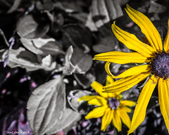 Just Some Of the Story Was Told (that_damn_duck) Tags: nature plant flower petals blossom blooming blackeyedsusan depthoffield