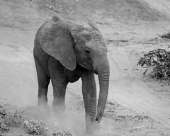 Samburu Kenya-122.jpg (MudflapDC) Tags: eastafrica kenya safari samburunationalreserve bw dust elephant sarunisamburu kalamaconservancy vacation samburu dry red samburucounty ke