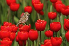Savannah Sparrow | Bruant des prés (shimmeringenergy) Tags: tulip tulips savannahsparrow bruantdesprés passerculussandwichensis mtvernon skagitvalley washingtonstate