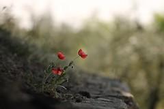 ` (SimonaPolp) Tags: flowers fiori poppies papaveri april aprile spring primavera bokeh nature natura canon green verde san pietro lucone wall muro