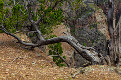 Beyond Twisted Stories (Photographer / Artist) Tags: colorado crawford canon5dsr nature nationalpark rockymountains twisted trees green springtime