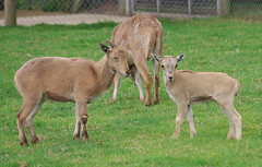 D09959.  Barbary Sheep. (Ron Fisher) Tags: barbarysheep sheep zoo animal kessingland lowestoft africaalive suffolk eastanglia england gb greatbritain uk unitedkingdom europe pentax pentaxkx