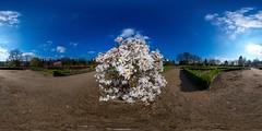 Frühling kommt (HamburgerJung) Tags: hamburg altona deutschland germany altonavolkspark volkspark blüten blumen blümchen frühling pentaxk3 da1017 hugin nodalninja5 equirectangular
