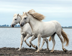 2016 Best Two Camargue Stallions (4) (maskirovka77) Tags: saintlaurentdaigouze languedocroussillonmidipyrén france languedocroussillonmidipyrénées fr stallion stallions createaway