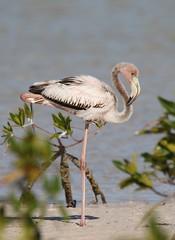 American Flamingo (Phoenicopterus ruber) 02-04-2017 Isla Blanca, Quintana Roo MX 12 (Birder20714) Tags: birds mexico quintana roo flamingos phoenicopteridae phoenicopterus ruber