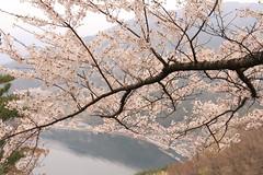DPP_8143 (catalyst1991) Tags: spring cherry cherryblossom dangling danglingcherry park pink yellow beautiful flower shiga biwako lake japan japanesebeauty happyflower japanesemind macro blossom nagamama castle sunset foreonsky clouds okubiwakohighway