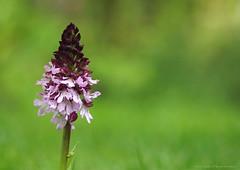 A Lady in the rain......... (favmark1) Tags: day116 2017 365 365challenge britishorchids kentorchids wildorchids ladyorchid orchispurpurea orchids kent