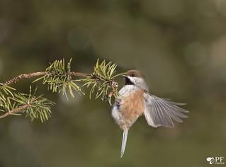 ''S'appriper!'' Mésamge à tête brune-Chickadee boreal