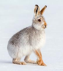 JWL5914 Mountain Hare... (jefflack Wildlife&Nature) Tags: mountainhare mountain hare hares animal animals mammal wildlife moorland heathland countryside cairngorms nature