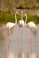 When friends meet... (malc1702) Tags: flamingos birds largebirds migratorybirds nikond7100 tamron150600 nature birdphotography wildlife wildlifesanctuary animals beauty grace longlegs fantasticnature
