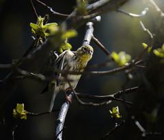 Observador ... (Víctor.M.Chacón) Tags: xt2 víctormchacón pájaros pájaro ave