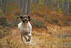 Runner (Veijo Toivoniemi) Tags: dog funny hilarious pet finland pointer