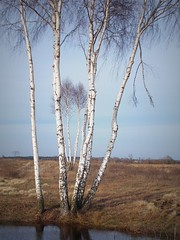 берёзки (miradel) Tags: берёзки tree trees nature outdoor outdoors chillout spring white whisper lake blue sky water near life vintage wil wild wildness simple simplicity day beauty art moment moments calm poetic mood moods