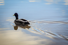 Where this is going (Jasperkm) Tags: water nature blue duck