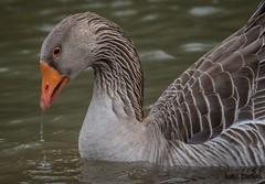 A Greylag goose feeds on Indian Creek, Corydon Indiana. (flintframer) Tags: bords goose greylag indiana corydon wildlife nature wow dattilo canon eos 7d markii ef600mm 14x