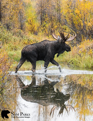 MO349 (Sam Parks Photography) Tags: alcesalcesshirasi gtnp gye grandtetonnationalpark greateryellowstoneecosystem jacksonhole nps northamerica parkservice river rockies rockymountains shirasmoose tetonrange usa unitedstatesofamerica wyoming animal antlers autumn biggame breedingseason cervic cervidae cervine cottonwoodtrees creek cross crossing fall fallcolor foliage ford fording habitat herbivore herbivorous hoof hoofedmammal hooved hooves lake large male mammal matingseason meadow nature pond rut rutting stream trophybull ungulate valley wade wading water wild wildlife woods