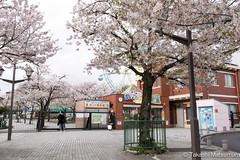 Arakawa Yuen (takashi_matsumura) Tags: arakawa yuen nishiogu arakawaku tokyo japan sigma 1750mm f28 ex dc os hsm nikon d5300 cherry blossoms sakura ngc spring