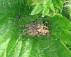Larinioides cornutus (erdragonfly) Tags: larinioidescornutus
