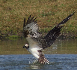 osprey (Pandion haliaetus
