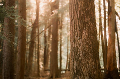 Read Between The Lines (thomas_anthony__) Tags: tree tress forest trunk branches pines pine woods light bokeh soft diffused dog film 35mm analog minolta summer