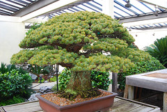 Bonsai, National Arboretum 127557 (thw05) Tags: art bonsai dc nature northamerica penjing people places thwilliamsphotography thomashwilliams thwphotoscom trees usnationalarboretum us usa washington tree plant