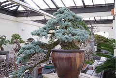 Dozen Bonsai, National Arboretum 127540 (thw05) Tags: art bonsai dc nature northamerica penjing people places thwilliamsphotography thomashwilliams thwphotoscom trees usnationalarboretum us usa washington tree plant