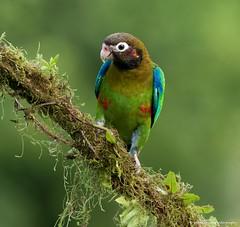 Brown-hooded Parrot (Male) (wmckenziephotography) Tags: parrot costarica costaricabirds canon7dii wildlife birds natureofcostarica