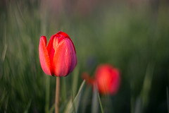 Red tulip (Ákos Fekete) Tags: tulip nature naturescomposition spring sun sunny flower red garden closeup april alpha afternoon outdoor outdoors bokeh vintage prime helios442 helios mirrorless milc csc emount evil sony sonyalpha6000 a6000 alpha6000 2017 colorful colors mbpictures beautiful beautifulcapture