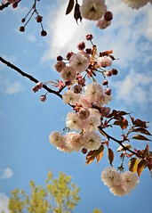 Ornamental cherry and sky 4 18 2017 (rbdal (Rick Dalrymple)) Tags: cherry cherryblossoms cluster flowers blooms blossoms hillsboro washingtoncounty oregon spring d7000 nikon