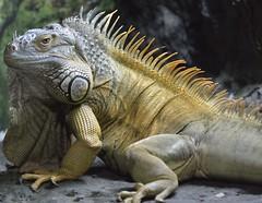 The Beast (St./L) Tags: nikon nature beast dragon yellow closeup dof imaginative creative fauna iguana