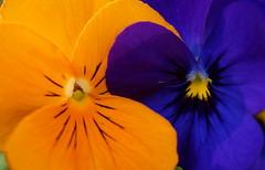 Macro Monday - Orange and blue (passionpapillon) Tags: nature fleurs flowers pensées passionpapillon 2017 monday macro orangeandblue