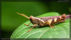 grasshopper (kelvinj_funlab) Tags: kelvinjong funlab d810 nikon tamron90mmf28spdimacro11vcusd nissini40 tamron macro kenko sengkang singapore insect grasshopper afternoon