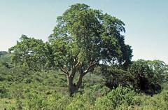 Baum mit Affe (fotoculus) Tags: südafrika rundreise2004 diascans hluhluwepark affen bärenpavian