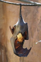 Malayan Flying Fox (Scott Atwood) Tags: pteropusvampyrus maharajajungletrek disneyworld waltdisneyworld disneysanimalkingdom flyingfox fruitbat