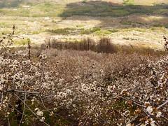 y Valle del Jerte (123) (calafellvalo) Tags: jertecerezosflorcheryflowerspringcalafellvaloextremaduracerezavalledeljerte jerte cerezoenflor valledelferte calafellvalo cherry cerise cerezas flores flowers white spring primavera tornavacas cabezueladelvalle extremadura cáceres