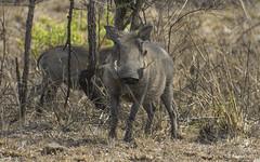 Miss Piggy (philnewton928) Tags: warthog femalewarthog phacochoerusafricanus mammal animal animalplanet wild wildlife nature natural satara kruger krugernationalpark africa southafrica safari outdoor outdoors nikon nikond7200 d7200
