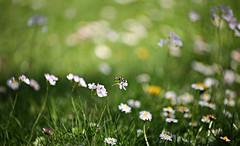 Spring meadow (Magreen2) Tags: meadow bee flower bokeh green bright sunny sun frühling sonne sonnig biene blume wiese grün