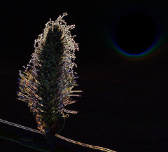 Osier Catkin      - glowing edges effect (conall..) Tags: county down tullynacree osier willow salix viminalis salixviminalis catkin male manipulated manipulatedimage photoshop elements 15 abstract weird glowing edges