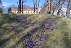DSC_6278 (cicilief) Tags: botaniskhage oslo norge norway tøyen vår spring printemps crocus lilla violet heart coeur hjerte